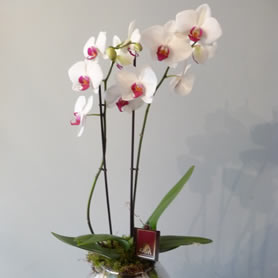 70cm Tall 2 spike phalaenopsis orchid plant.