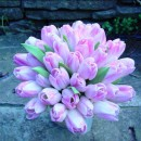Bi coloured tulips